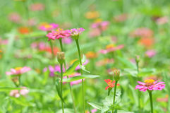 Zinnia  flowers Royalty Free Stock Photography