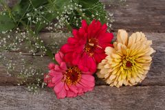 Zinnia flowers with gypsophila Royalty Free Stock Image
