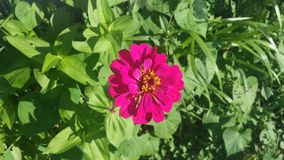 Zinnia flowers in Illinois stock photo