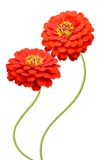 Zinnia flowers Stock Photo