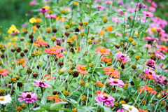 Zinnia flowers. Stock Image