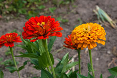 Zinnia flowers on the natural background. Stock Image