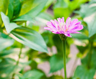 Zinnia flowers of nature Royalty Free Stock Photos