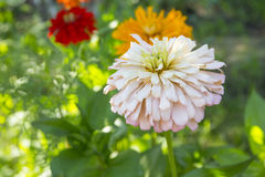 Zinnia flowers. In the summer garden Royalty Free Stock Photos
