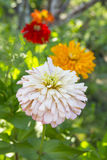 Zinnia flowers. In the summer garden Royalty Free Stock Photography