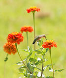 Zinnia flowers in a sunny summer garden with a Hummingbird Royalty Free Stock Photography