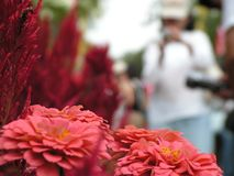 Zinnia flowers and tourist. Taken at singapore sentosa flowers festival. Flowers in bottom foreground are zinnias with red celosia plumosa at the side Stock Photos