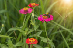 Zinnia flowers and wasp Stock Photo