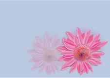 Zinnia flowers  on white background Royalty Free Stock Image