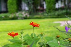 Zinnia in the garden. The zinnia in the garden Royalty Free Stock Photo