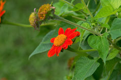 Zinnia in the garden. The zinnia in the garden Royalty Free Stock Photography