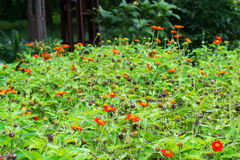 Zinnia in the garden. Royalty Free Stock Photography