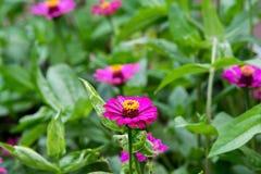Zinnia in the garden. Zinnia bloom in the garden Royalty Free Stock Images