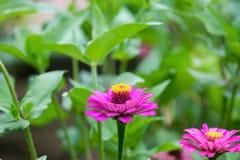 Zinnia in the garden. Zinnia bloom in the garden Royalty Free Stock Image