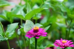 Zinnia in the garden. Zinnia bloom in the garden Royalty Free Stock Photo