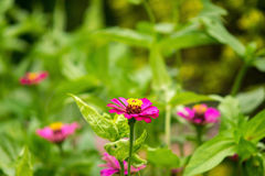 Zinnia in the garden. Zinnia bloom in the garden Stock Photo