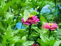 Zinnia in the garden. Zinnia bloom in the garden Stock Photography
