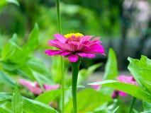 Zinnia in the garden. Zinnia bloom in the garden Stock Image