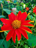 Zinnia in the garden. Zinnia bloom in the garden Stock Images