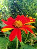 Zinnia in the garden. Royalty Free Stock Photos
