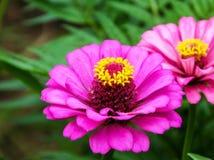 Zinnia in the garden. Zinnia bloom in the garden Stock Photos