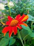 Zinnia in the garden. Stock Images