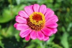 Zinnia in garden Royalty Free Stock Photos