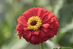 Zinnia in the garden Stock Images