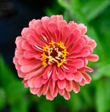 Zinnia in the Garden. This is a Summer picture of a growing Zinnia in bloom at the Urban Farm at Lincoln Park Zoo located in Chicago, Illinois in Cook County stock photo