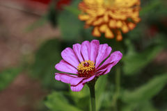 Zinnia in the garden on a sunny day. Pink Zinnia Flower in the garden on a sunny day Stock Photography
