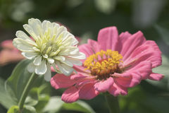 Zinnia in the garden Royalty Free Stock Images