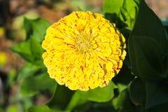 Zinnia in garden. Yellow zinnia in the garden Stock Images