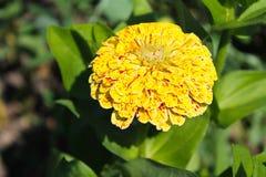Zinnia in garden. Yellow zinnia in the garden Stock Photography