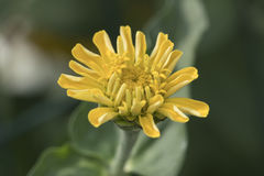 Zinnia in the garden Stock Photography
