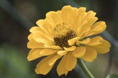 Zinnia in the garden Stock Image