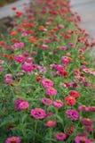 Zinnia-Garten Lizenzfreies Stockfoto