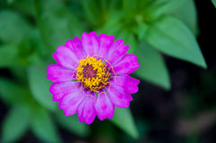 Zinnia. Is a genus of plants of the sunflower tribe within the daisy family. They are native to scrub and dry grassland in an area stretching from the stock photo