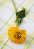Zinnia giallo sul plaid Immagine Stock