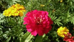 Zinnia, grand milieu mauve de fleur des soucis français jaunes et verdure luxuriante Photographie stock libre de droits