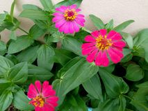 Zinnia has pink and red. stock photos