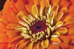 Zinnia hermoso del jardín de flores del fondo de la imagen fotos de archivo libres de regalías