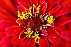 Zinnia hermoso del jardín de flores del fondo de la imagen imagen de archivo libre de regalías