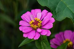 Zinnia Hybrid Flower Στοκ φωτογραφία με δικαίωμα ελεύθερης χρήσης