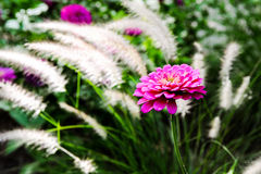 Zinnia i blom Arkivfoton