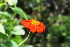 Zinnia i trädgården arkivfoton