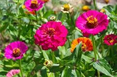Zinnia im Garten Lizenzfreie Stockfotos
