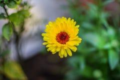 Free Zinnia In Garden Stock Photos - 160635623