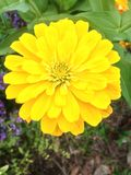 Zinnia jaune Photos stock