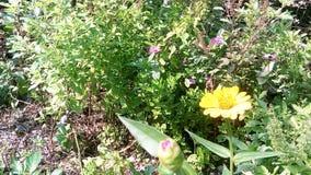 Zinnia jaune Photo libre de droits