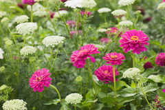 Zinnia and Khella Stock Images